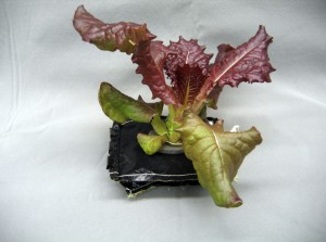 Outredgeous red romaine lettuce