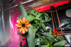Flowers growing on International Space Station